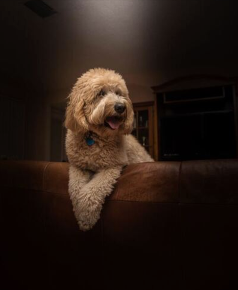 Labradoodle leaning over the back of a couch with its paws crossed